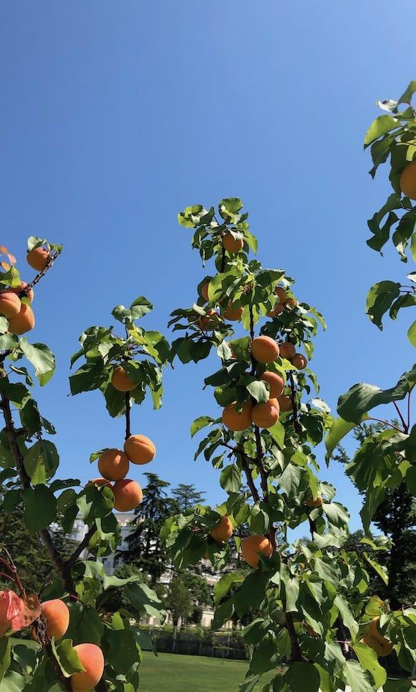 Sacca Sessola's Apricots